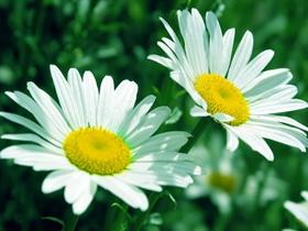 花中君子白晶菊