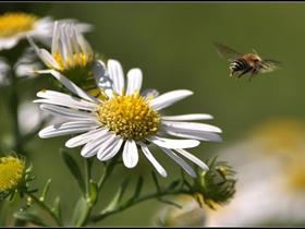蜜蜂和白晶菊