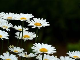 清新丽洁白晶菊
