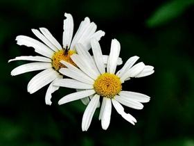 小清新白晶菊