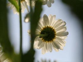 阳光下的白晶菊