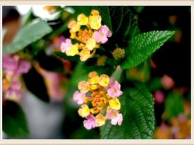 艳丽的五色梅
