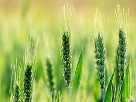 麦田里的麦穗