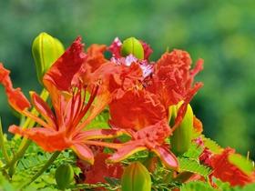 红火火凤凰花