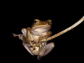 可爱的树蛙