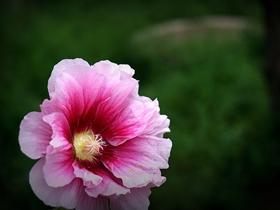千姿百态木槿花