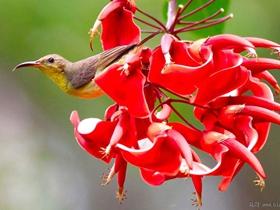 龙牙花与花蜜鸟