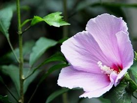 七月木槿花