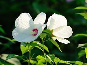 清新美丽的木槿花