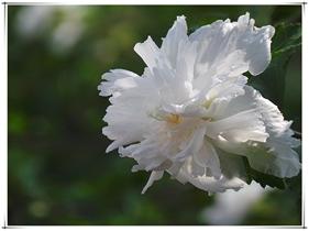重瓣白色木槿花