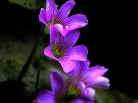 药用植物红花酢浆草