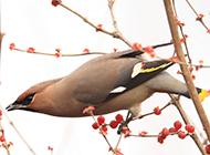 果树上的小太平鸟图片