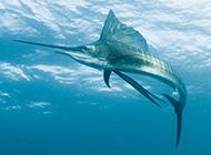 上颌尖长的淡水剑鱼图片