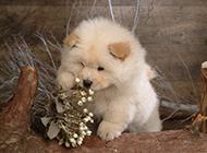 胖乎乎的纯白松狮犬高清图集
