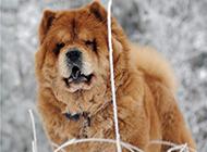 棕色松狮犬雪地活动图片