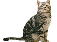 美国短毛猫神气十足图片大全