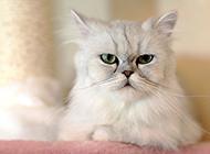 金吉拉猫生气表情图片