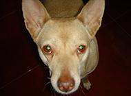 小型短毛狗法老王猎犬图片