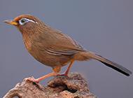 最新贵州画眉鸟图片壁纸