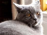 纯种英短猫眼神犀利图片