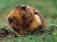 警惕的中华鼢鼠图片