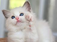 白色布偶猫超萌图片大全