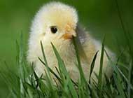 可爱毛绒绒的小鸡高清图片
