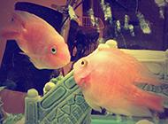 鱼缸里的世界接吻鱼图片壁纸