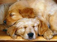 哈士奇杜宾犬宠物狗高清组图