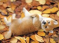 胡麻色柴犬幼犬打滚图片