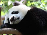 唯美可爱的熊猫高清图片