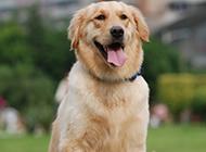 宠物狗金毛寻回犬的图片