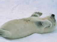 雪地里的可爱小海豹图片