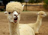 牧场养殖的搞笑草泥马图片