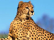 大型食肉动物花豹图片特写