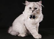 美丽乖巧的金吉拉猫图片