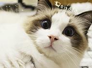 紫眸布偶猫图片萌死人