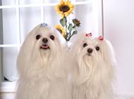 迷你马尔济斯犬图片纯白可爱