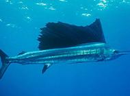 肉食性鱼类美国旗鱼图片