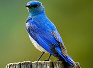 北美蓝知更鸟体态优美图片