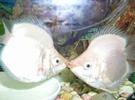 接吻鱼的图片可爱至极