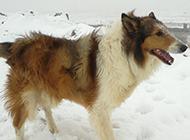 不畏严寒的苏格兰牧羊犬图片欣赏