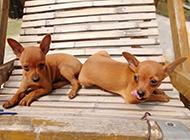 小鹿犬幼犬有爱互动图片