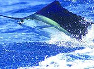 巨大旗鱼图片浮出水面
