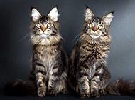模样乖巧安静的缅因猫图片