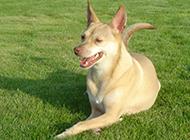 法老王猎犬趴着晒太阳图片
