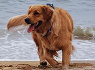 成年雌金毛寻回犬海边玩耍图片