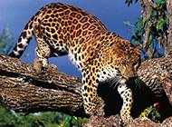 生猛花豹食肉动物特写