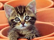 可爱的宠物猫茶杯猫图片大全