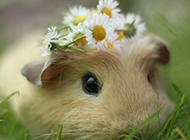 可爱的小豚鼠高清摄影图片